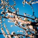 blossoms---lomo-208419-m