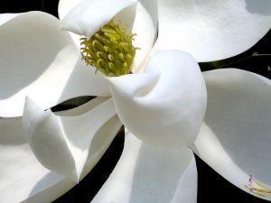白木蓮の花言葉や見頃の時期は?こぶしとの見分け方ご紹介します