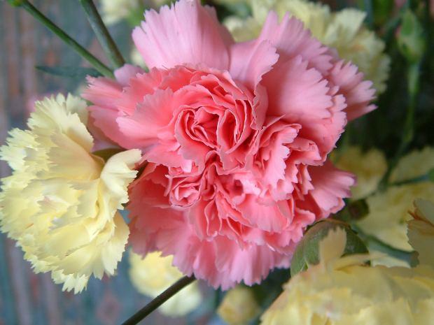 カーネーションの花言葉!ピンクや赤、レインボーカーネーションにはどんな意味が?