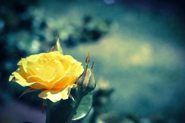 バラの花言葉!色によって違う?父の日におすすめの色はコレ!