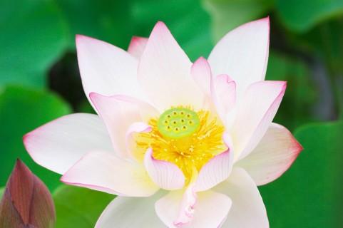 蓮の花言葉と意味をご紹介!スイレンとハスの違いはどこ?